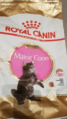 Maine Coon Kitten - Product - fr